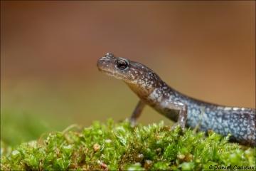 Red-backed_Salamander_1718-16