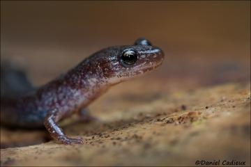 Red-backed_Salamander_6889-13