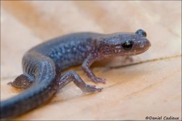 Red-backed_Salamander_9259-14