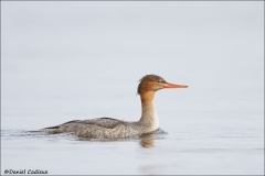 Red-breasted_Merganser_8134-13