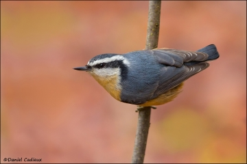 Red-breasted_Nuthatch_0557-11