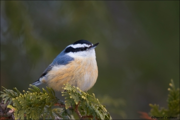 Red-breasted_Nuthatch_5992-15