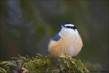 Red-breasted_Nuthatch_5994-15