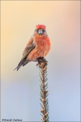Red Crossbill_1243-18