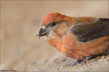 Red Crossbill_1396-18