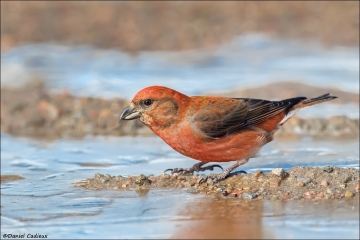 Red Crossbill_1517-18