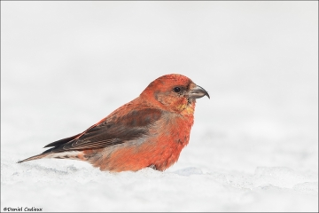 Red Crossbill_1621-18