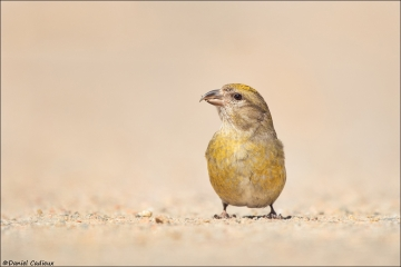 Red Crossbill_1701-18