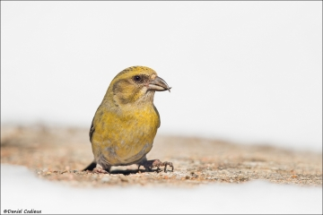 Red Crossbill_1756-18