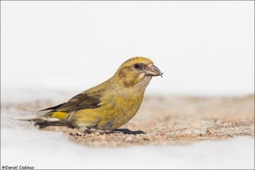 Red Crossbill_1821-18