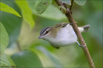 Red-eyed_Vireo_1262-14