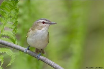 Red-eyed_Vireo_7287-13
