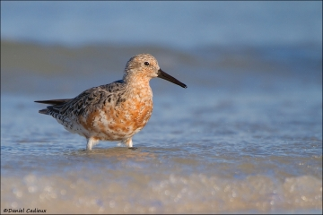 Red_Knot_4579-12