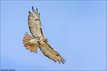 Red-tailed_Hawk_1344-15