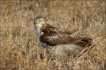 Red-tailed_Hawk_8283-11