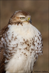 Red-tailed_Hawk_8359-11