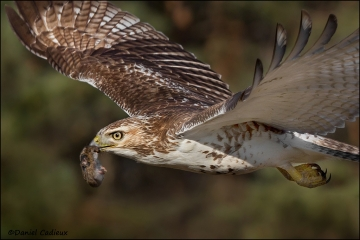 Red-tailed_Hawk_8457-11