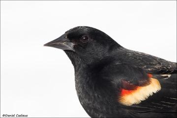 Red-winged Blackbird_0496-18