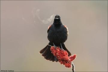 Red-winged Blackbird_2220-18