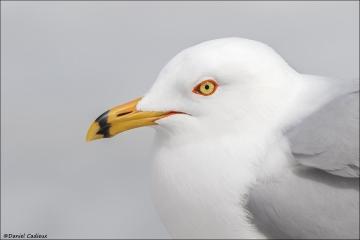 Ring-billed Gull_2733-18