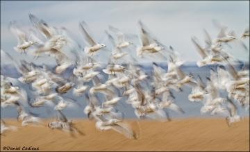 Ring-billed_Gull_1872-11