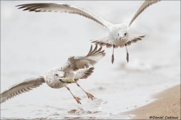 Ring-billed_Gull_4683-17