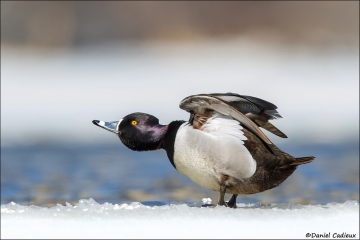 Ring-necked_Duck_0464-15