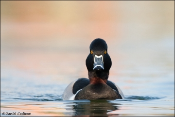 Ring-necked_Duck_3658-11