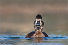 Ring-necked_Duck_3710-11