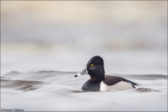 Ring-necked Duck_6854-18