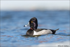 Ring-necked_Duck_0502-15