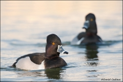 Ring-necked_Duck_3643-11