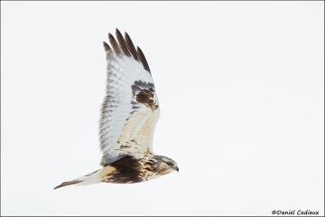 Rough-legged_Hawk_7031-16