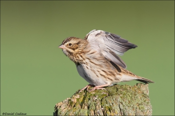 tn_Savannah_Sparrow_0438-1