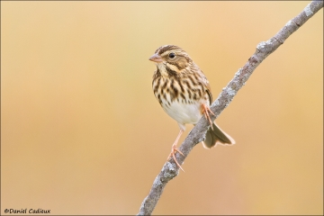 tn_Savannah_Sparrow_7387-1