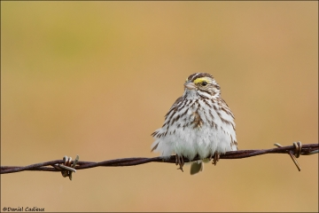 tn_Savannah_Sparrow_8266-1