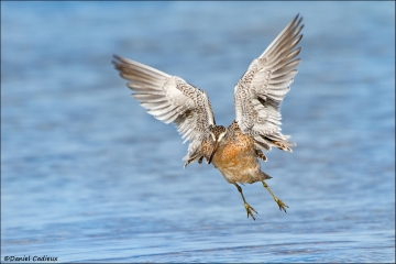Short-billed_Dowitcher_2862-12