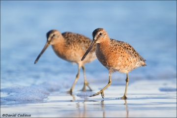 Short-billed_Dowitcher_4490-12