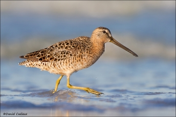 Short-billed_Dowitcher_4519-12