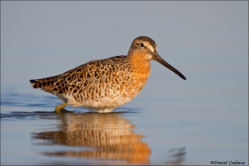 Short-billed_Dowitcher_6338-12