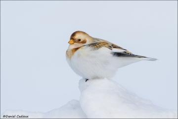Snow_Bunting_5934-14