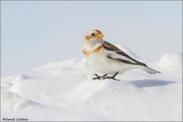 Snow_Bunting_7369-15