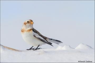 Snow_Bunting_7398-15