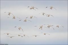 Snow Goose_6585-18