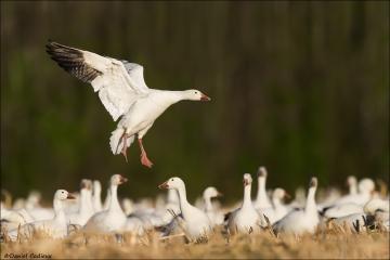 Snow Goose_9373-18