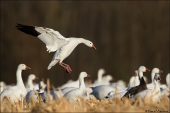 Snow Goose_9384-18