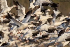 Snow Goose_9567-18