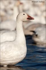 Snow_Goose_1747-10