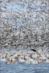 Snow_Goose_9868-10