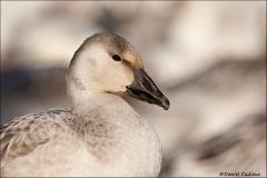 Snow_Goose_1757-10